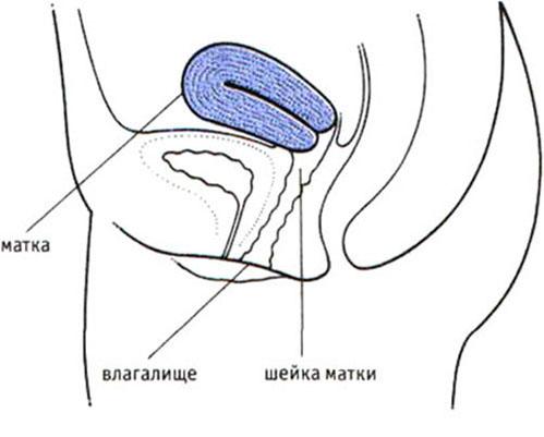 вход спермы в матку фото