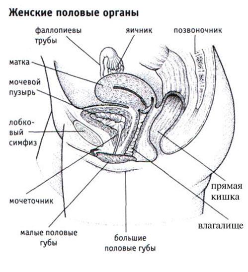 Пенис не сперматозоиды